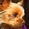 Žena z Jeseníku marně čeká na štěně ze zahraničí