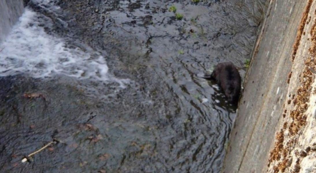 Zábřeh - záchrana bobra zdroj foto: HZS Olk.
