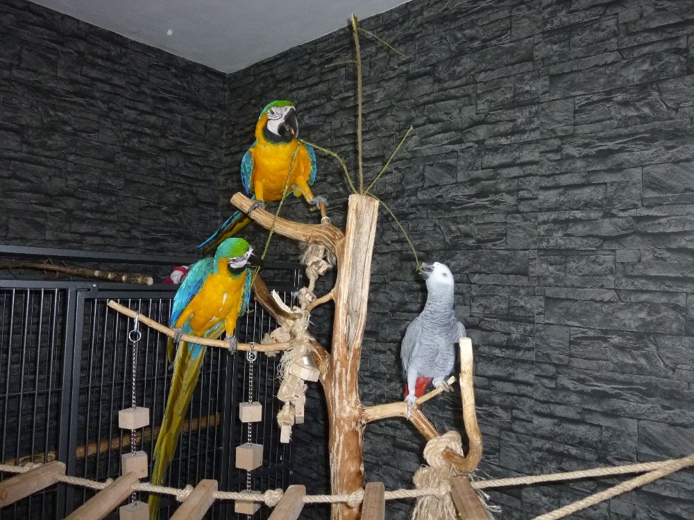 papoušci doma
