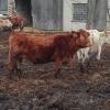 Farmářka na Šumpersku nezajistila dostatečné množství krmiva pro chovaný dobytek