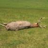 Vzácného jelena na Velkolosinsku museli utratit
