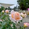 Blíží se Vyznání růžím