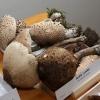 Výstava hub v šumperském muzeu